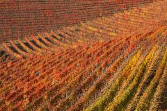 vineyards at fall. piedmont, northern italy. - stock photo