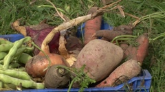 Other organic vegetables fields onions, potatoes, carrots Stock Footage