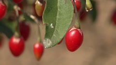 Single goji berry - wolfberry in focus Stock Footage