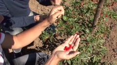Picking wolfberry berries Stock Footage