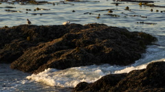 Waves, Rocks and Birds at Ucluelet, British Columbia Stock Footage