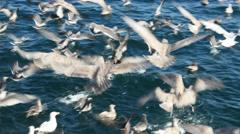 seagulls attacking fish bait ball, san juan island, san juan islands, puget s - stock footage