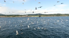 Seagulls attacking fish bait ball, san juan island, san juan islands, puget s Stock Footage