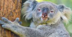 Koala Bear wild australian animal 4k video Stock Footage