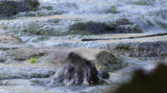 Crow Bathing In a Stream Stock Footage