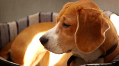 Purebred Beagle lying on sofa in the morning sun rays Stock Footage