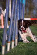 Working type english springer spaniel pet gundog agility weaving Stock Photos