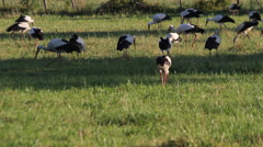 Storks in a Meadow Stock Footage