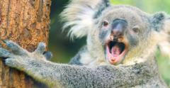 Cute and funny Koala bear yawning 4k close up video Stock Footage