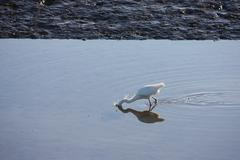 a heron looking for food in a pool of water - stock photo