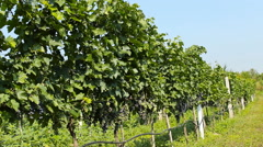 vineyard grapes ...healthy fruit for making vine Stock Footage