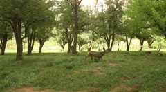 Deer walking around Stock Footage