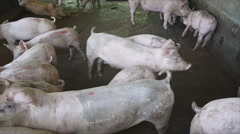 Pig in farm Stock Footage