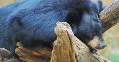 Asian Black bear Ursus Thibetanus or Himalayan bear resting Stock Footage