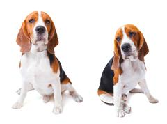 Two beagle dogs sitting on white background use for animals and lovely pets a Stock Photos