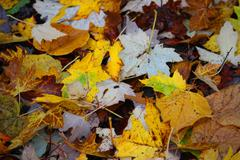 yellow and whit maple leaves on the ground at batsford arboretum - stock photo