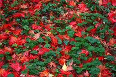 Red maple leafs on the floor of a forest Stock Photos