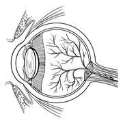 Human eyeball Stock Illustration