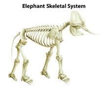 Skeletal System of an Elephant - stock illustration