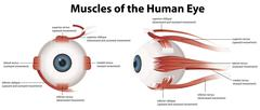 Muscles of the Human Eye Stock Illustration