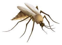 Mosquito Piirros