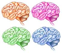 Human brains Stock Illustration