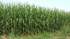 Cornfield late afternoon - stock footage