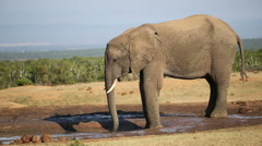 African elephant at waterhole, Addo Elephant National Park, South Africa Stock Footage