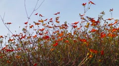 Orange flowers in the flowerbed Stock Footage