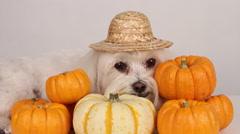 Adorable Dog Snuggles Halloween Pumpkins Stock Footage