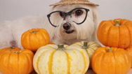 Stock Video Footage of Smiling Dog Halloween Pumpkins