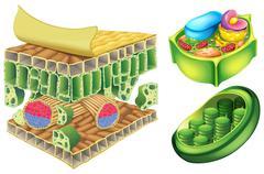 Plant cells - stock illustration