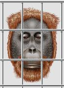 An endangered orangutan Stock Illustration