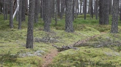 Stock Video Footage of Silent pine forest.