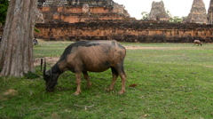 Zoom - Ox Eating Grass, Stone Wall with Temple Remains - Angkor Wat Stock Footage