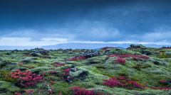 Clouds moving over moss covered volcanic lava rock, red leaves, autumn Icelan Stock Footage