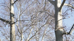 Two tall trees with white bark Stock Footage