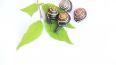 Snails crawling slowly on white background - stock footage