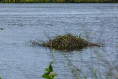 beaver lodge - stock photo