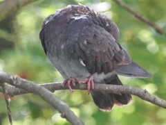 Pigeon cleans feathers on a branch Stock Footage