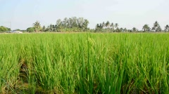 Rice field with breeze Stock Footage