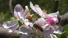 Bee pollinating apple blossoms 4K Stock Footage