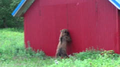 Brown bear near the house. Stock Footage