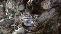 Close up Toad in her natural habitat. Frog looking in camera. Arkistovideo