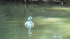 Baby swan on the lake near his mother. Natural environment. Stock Footage