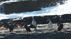 Birds cormorants landed on a rock in the sea coast Stock Footage