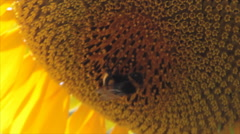 Bumblebee in centre flower Stock Footage