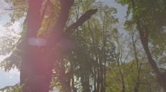 SLOW MOTION: Beautiful tall trees in avenue - stock footage
