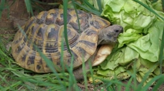 Greek tortoise is eating a big salad between grass, tripod Stock Footage