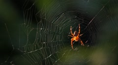 Close up of an european cross spider on its web in breeze Stock Footage